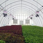 Heil Fruit and Produce hydroponic lettuce lights on