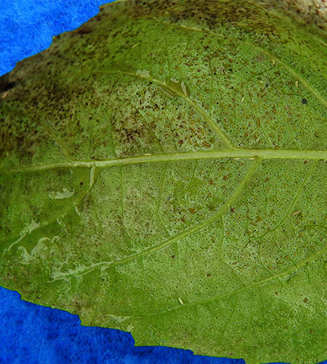 shows up close of basil downy mildew on leaf