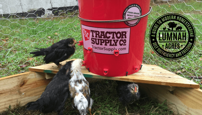 Icelandic Chicks Using the 5 gallon Automatic Chicken Waterer