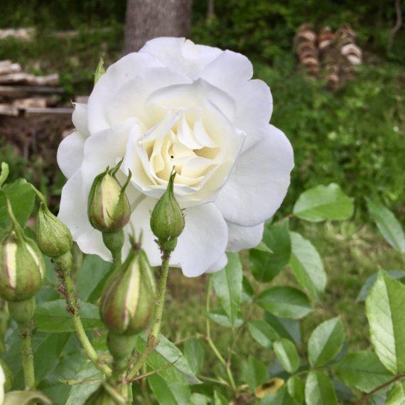 Première rose de l'Unicorne
