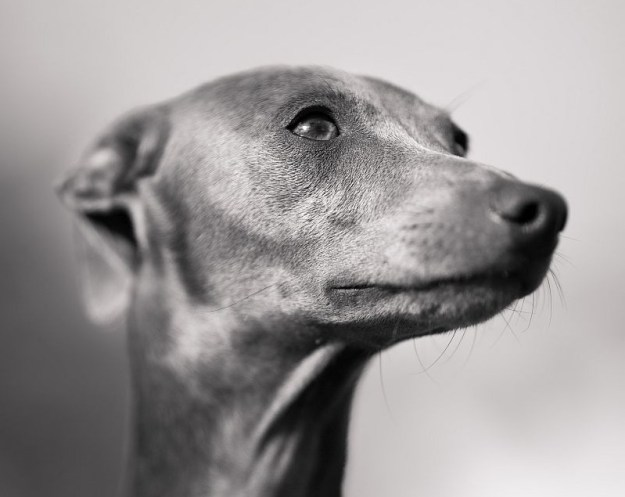 Italian greyhound breeder