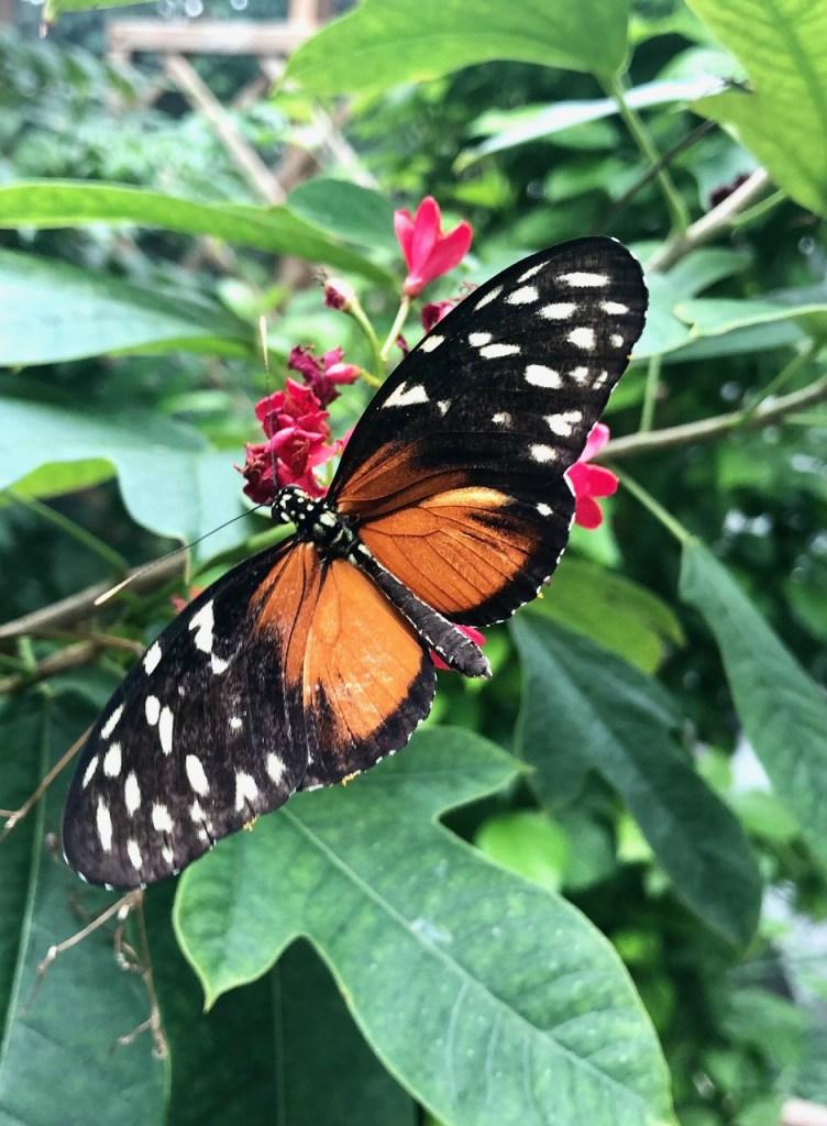 Schmetterling - Coronawoche 68 (Sommer) - Freitagszeuch