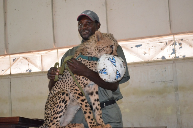 Mukuni Big 5 Safaris tour guides display a cheetah to Livingstone's Linda High School pupils (not in picture)