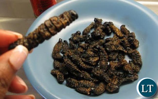 Caterpillar: A delicacy amongst most Zambians