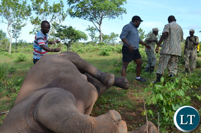 Inonge, the matriarch Rhino being assisted