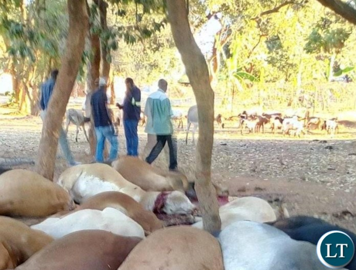 Some of the slaughtered animals lying in a pool of blood in Choma after the department of Livestock slaughtered them on Saturday