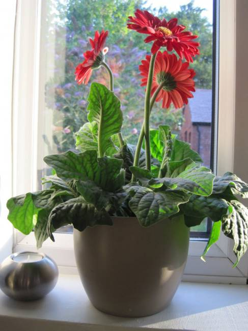 Gerbera Flowers Bringing Joy And Color Into Interior