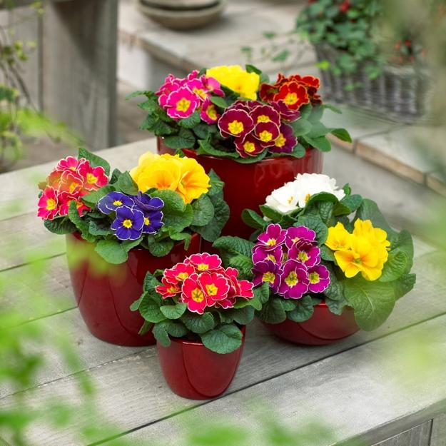 Primulas Spring Blooming Plants For Your House And Yard