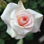 'White Delight' Rose