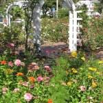 Zinnias, Cosmos, & Rose Garden