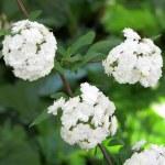 Bridal Wreath Spiraea