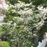 Mexican Flowering Dogwood