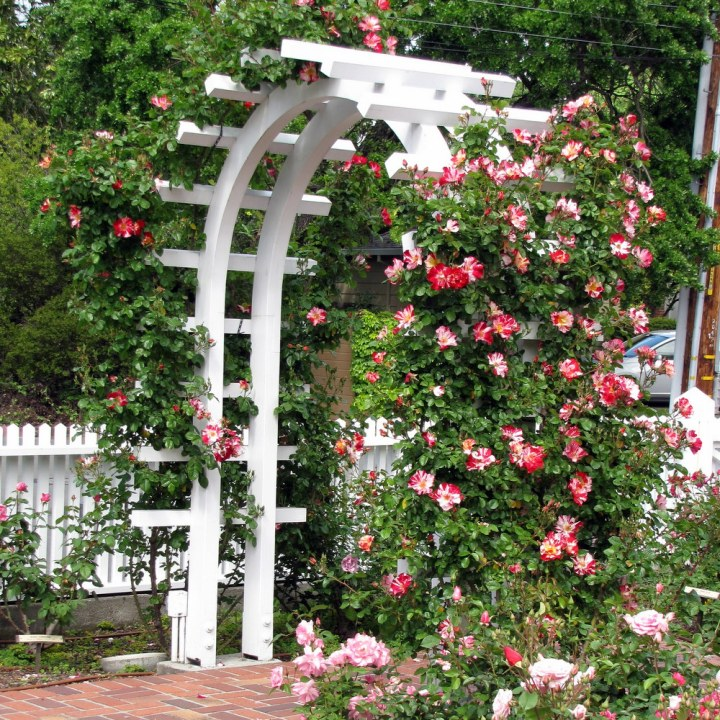 Rose Arbor with 'Fourth of July' Rose