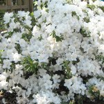 Azalea against Memorial Garden trellis