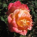 'Chris Evert' Rose
