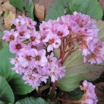 Winter Blooming Bergenia