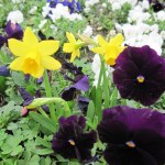Narcissus & Pansy