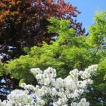 Dogwood, Maple & Copper Beech