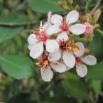 Pink Indian Hawthorne