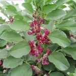 Red Flowered Fava Beans