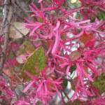 Pink Flowering Fringe Flower