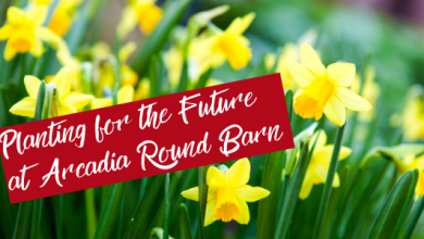 Photo of Daffodils to beautify grounds of Arcadia Round Barn