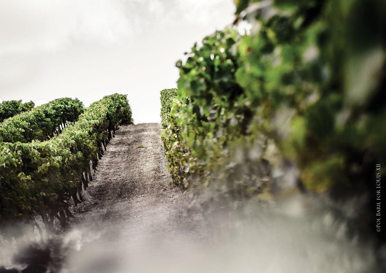 01-LXIII-Mathusalem-Grande_Champagne_Vineyard-LD