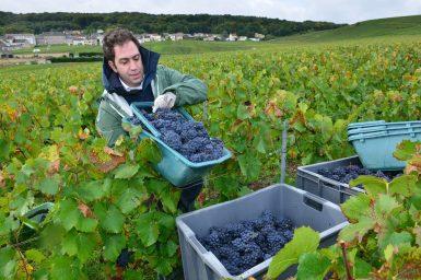 Vendanges Veuve Clicquot - photo Michel Jolyot (151)