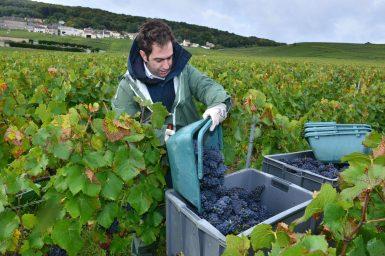 Vendanges Veuve Clicquot - photo Michel Jolyot (152)