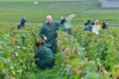Vendanges Veuve Clicquot - photo Michel Jolyot (159)