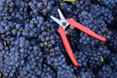 Vendanges Veuve Clicquot - photo Michel Jolyot (76)
