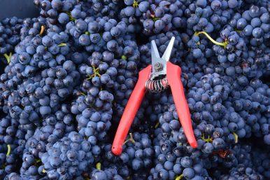 Vendanges Veuve Clicquot - photo Michel Jolyot (78)