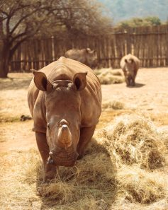 Baby rhinos at Care For Wild Rhino Sanctuary (2)