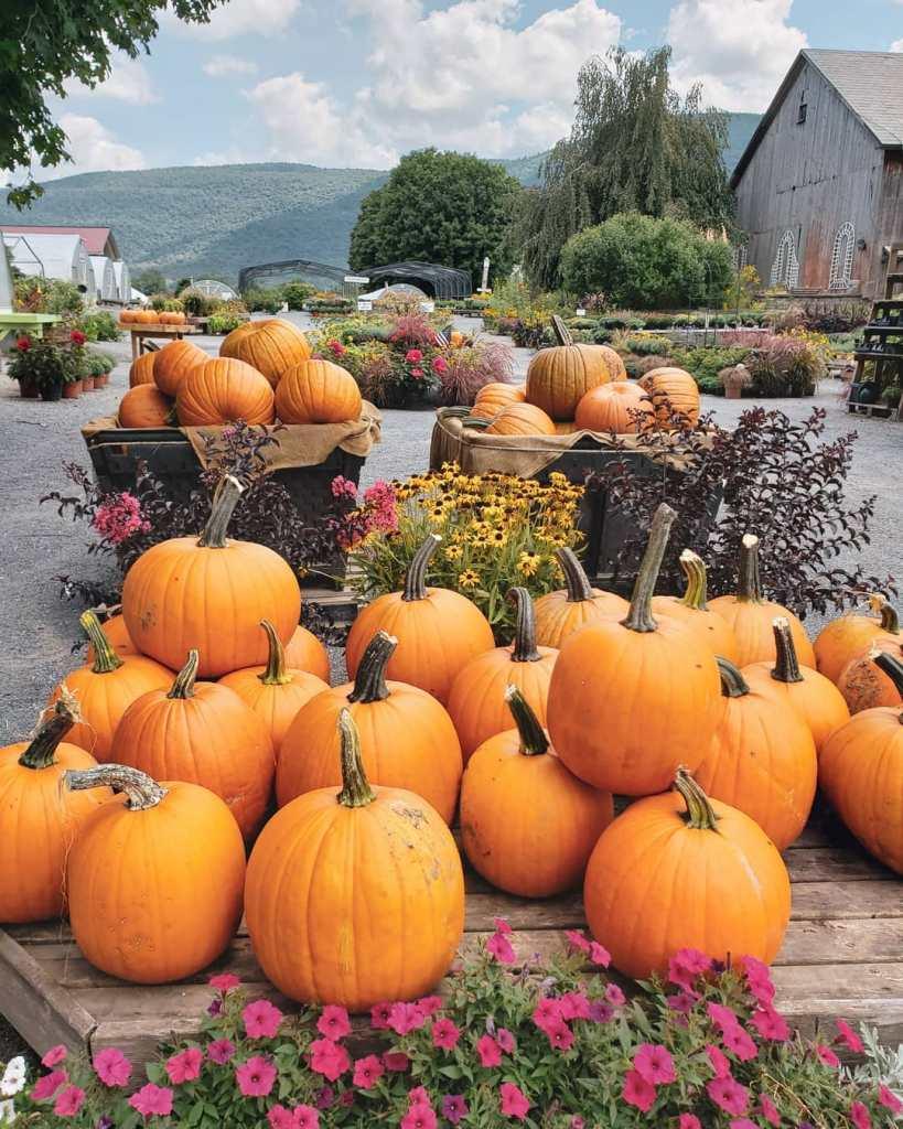Fall-in-Manchester-Vermont-pumpkin-patch