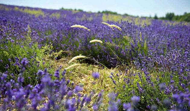 Introducing Black Tomato's new trips to Provence inspired by L'OCCITANE.