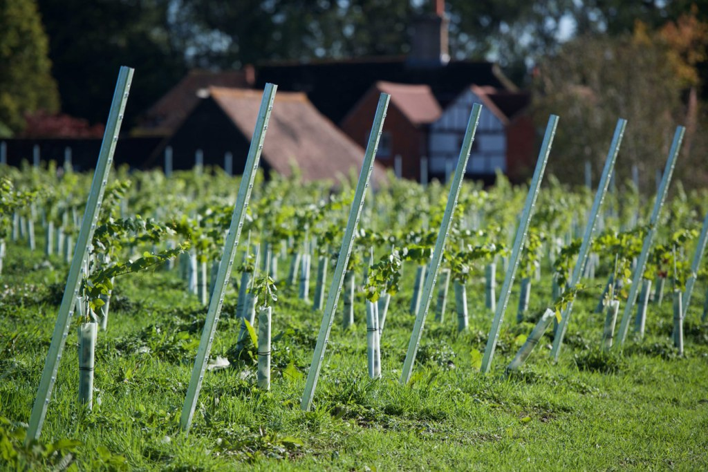 Growing in the Right Direction at Dillions Vineyard in West Sussex 3