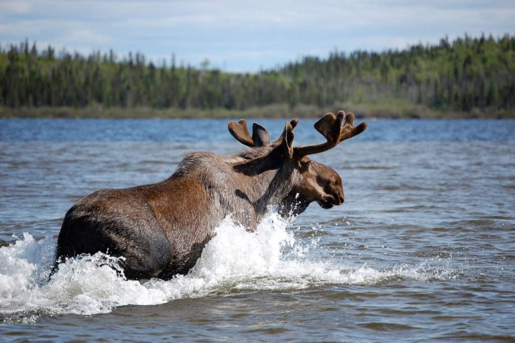 Moose swimming in Manitoba Canada