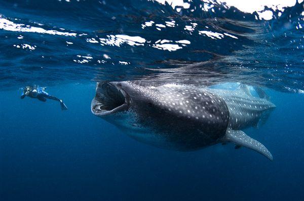 Tiburon ballena y turista