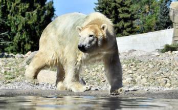Eisbär Nokia im Polarium Rostocker Zoo