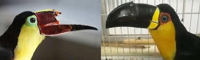 Imagem dividida em duas. na primeira parte, tucano zequinha sem metade da parte de cima do bico. Na segunda imagens, tucano zequinha já recuperado da cirurgia com prótese criada a partir de impressão 3D.