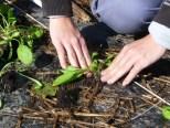 Plantation d'épinard