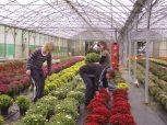 Production de chrysanthèmes