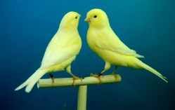 canaries-426279