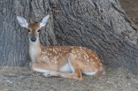 A fawn at the little wildlife display at Medicine Bluffs at Ft Sill