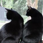 Whitman and Inca in Window. Two black cats watch out the window.
