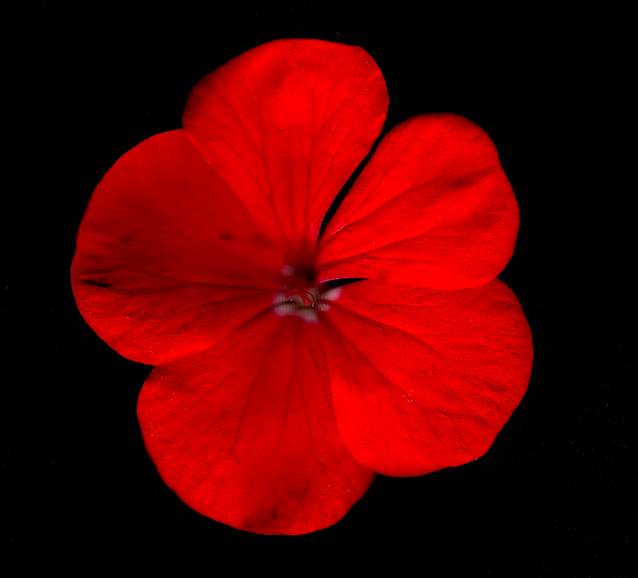 A Scan of a red orange flower