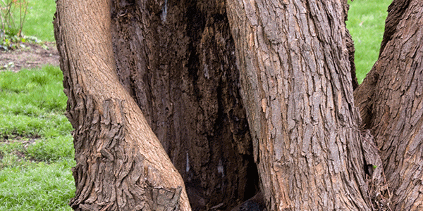 A split in the tree, was destroyed in 2014