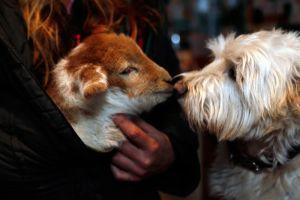 Yogi and lamb kissing