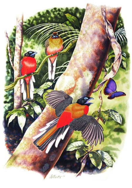 Trogons sample page