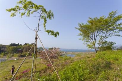 お店がある波伝谷地区の高台に植樹された16本の桜。